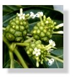 noni, morinda cirtifolia